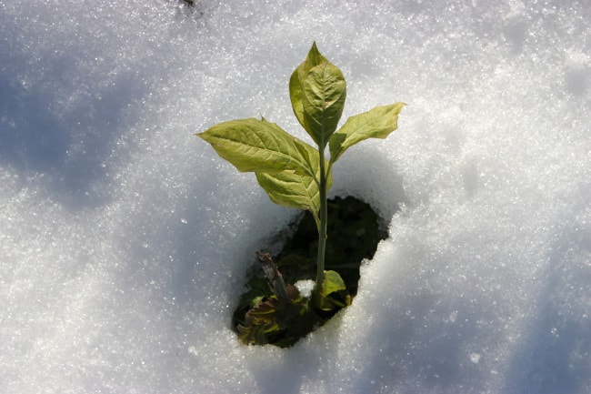 New plant emerging from the snow