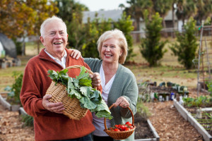 Older couple gathers vegetables in garden