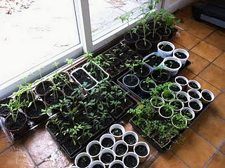 Jenny's seedlings, ready to be transplanted