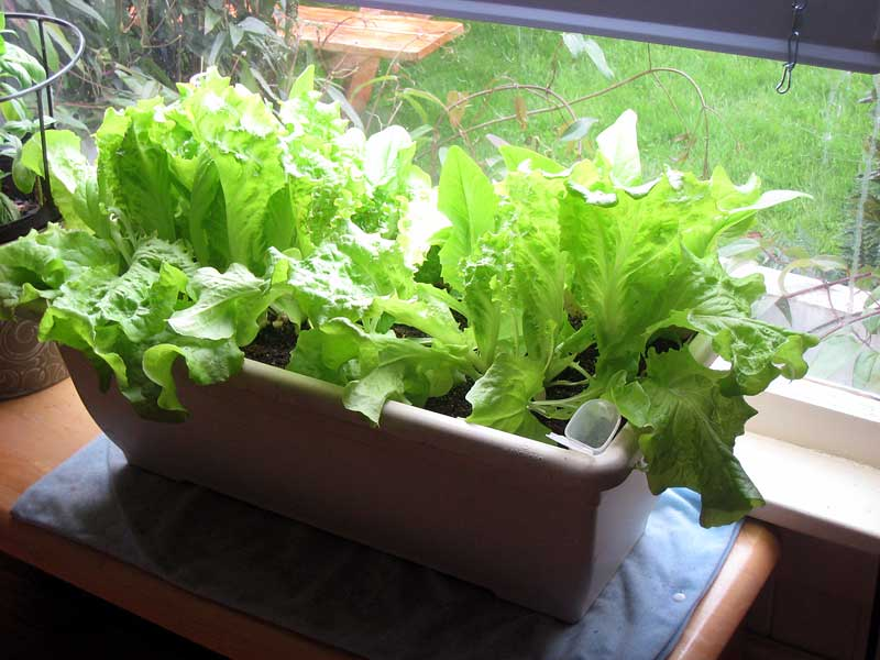 Our lettuce, growing inside